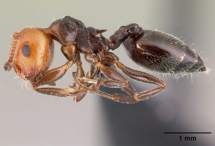 Preliminarno istraživanje mrava otoka Biševa - Izvještaj